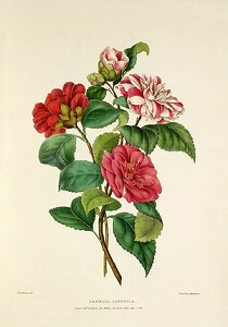 Camellia by Valentine Bartholomew (1799–1879,English)