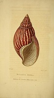 bulimus zebra shell illustration. George B. Perry, c.1800.